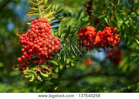 Mountain ash (Sorbus) tree with ripe rowan berries