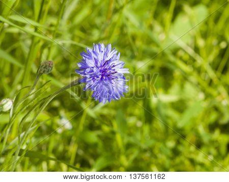 Blooming Blue Garden Cornflower Centaurea cyanus in flowerbed with bokeh background macro selective focus shallow DOF