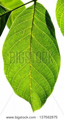 Fresh Green Leaf Of Walnut Tree Illuminated By Sun