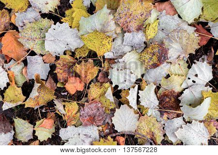 Different color autumn laves background. Natural pattern
