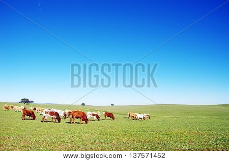Cows grazing on field at south of Portugal