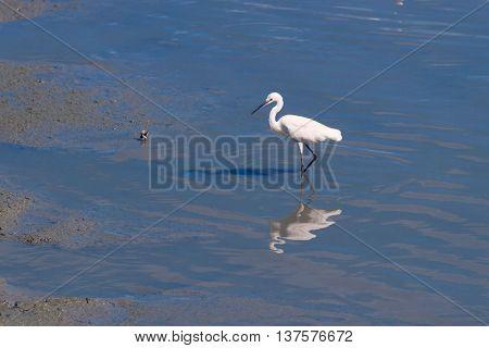 snowy egret egretta thula while eating fish at cha am
