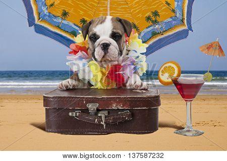 English Bulldog puppy with travel bag sits on the ocean shore under beach umbrella. Theme travel