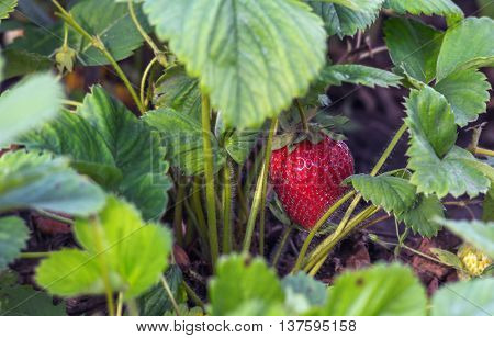 Fresh red strawberry with stems in the plantation horizontal shot selective focus