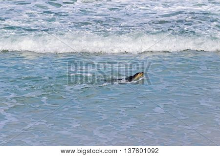 Australian Sea lion swimming at Seal Bay, Sea lion colony on south coast of Kangaroo Island, South Australia