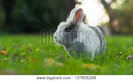 A cute fluffy white and grey rabbit on green grass in summer