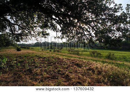 Sunrise in the forest. Big tree closeup in the meadow at dawn . Morning landscape.