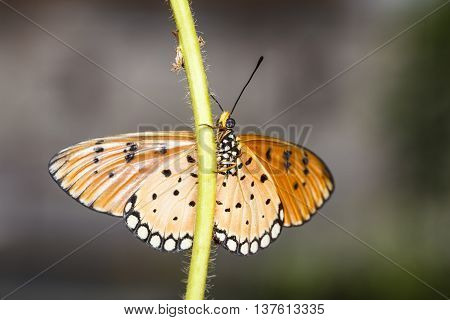 Close Up Of Tawny Coster Butterfly