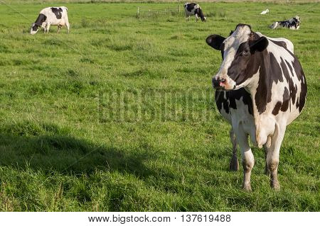 Dutch Holstein Zwartbont cow in a green grass meadow