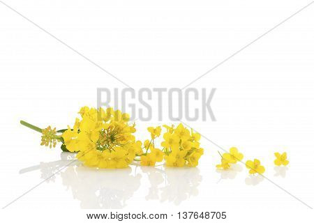 Rapeseed flower isolated on white background. Yellow flower.