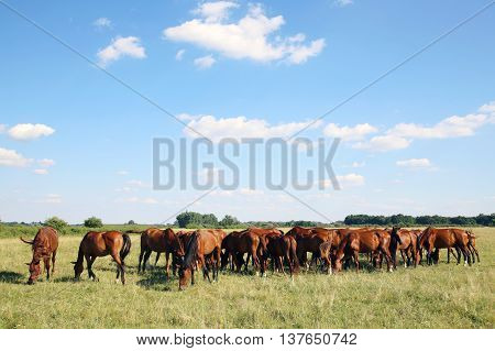 Mares and foals graze on green grass rural scene in the background. Young chestnut foals and mares eating gras on meadow summertime outdoor rural scene