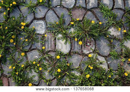 Dandelions and weeds growing between cracks in the stones.