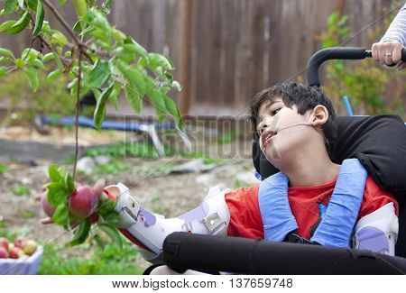 Disabled nine year old boy in wheelchair picking apples off fruit tree