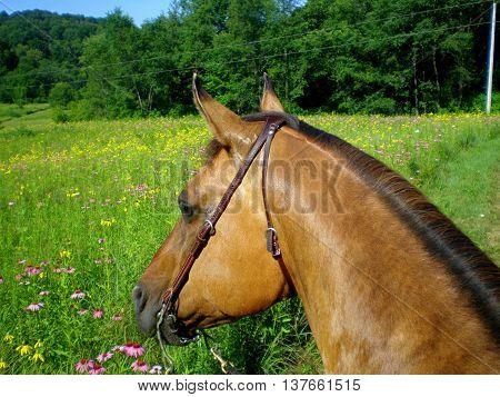 buckskin quarter horse bridle equine horseback riding summer