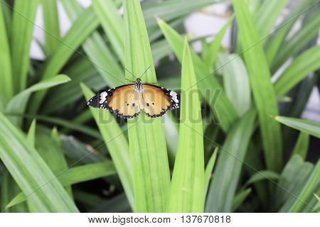 Butterflies are part of the class of insects in the order Lepidoptera along with the moths. Adult butterflies have large often brightly coloured wings and conspicuous fluttering flight. The group comprises the large superfamily Papilionoidea along with tw