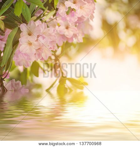 Flowering of fresh tender Rhododendron maximum pink flowers and green leaves at spring time with water reflection. Natural sunny floral seasonal holiday background with copy space.