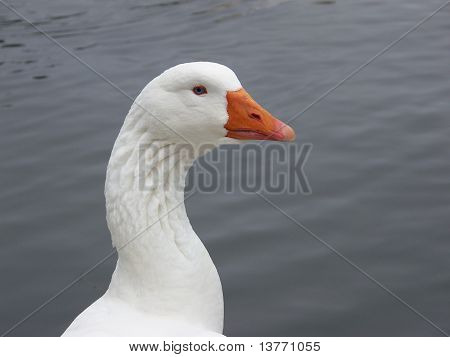 White Goose Profile