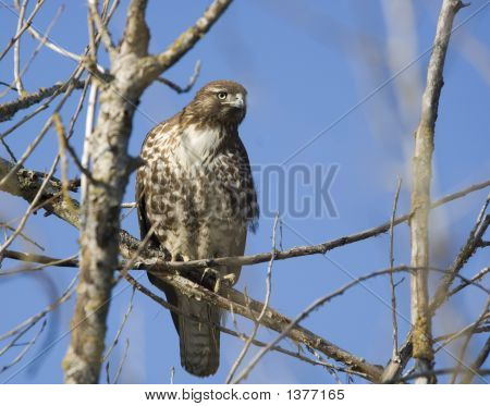 Male red-tailed hawk (Buteo jamaicensis) at the Merced NWR Los Banos CA. poster