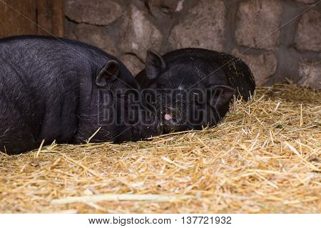Two pigs in traditional farm animals natural
