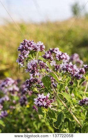 Flowering Oregano (origanum Vulgare).