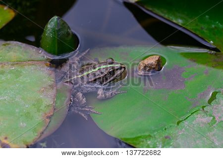 he common frog (Rana temporaria) mating also known as the European common frog European common brown frog or European grass frog is a semi-aquatic amphibian