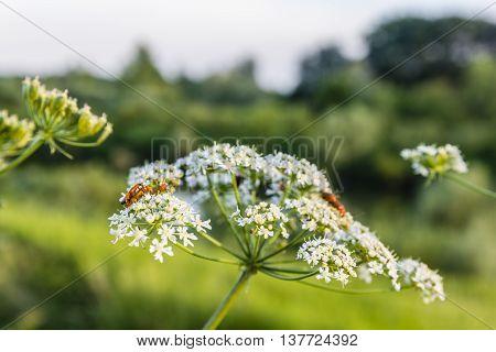 Rhagonycha Fulva (common Red Soldier Beetle).