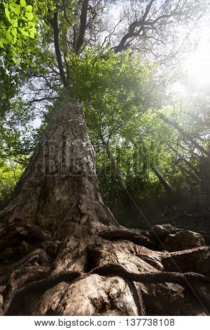 Giant pine tree in Los Ports de Tortosa