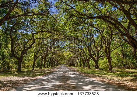 Long road lined with ancient live oak trees draped in spanish moss at historic Wormsloe Plantation in Savannah Georgia USA