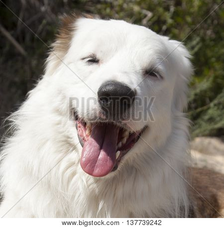 Border Collie smiling. Worker dof from the border between England and Scotland