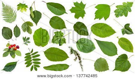 Natural Green Leaves Isolated On White