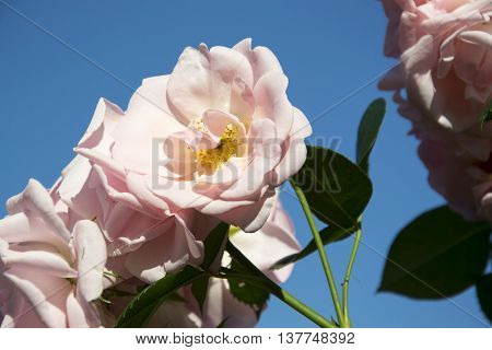 a photo of the astrid lindgren rose