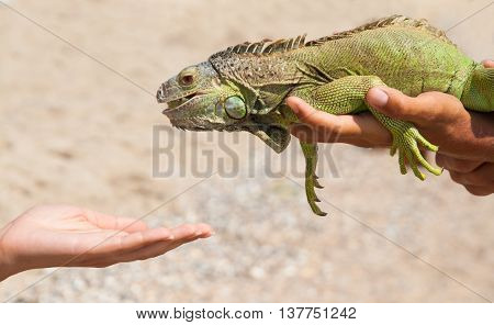 feeding from the hands of green iguana