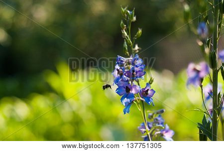 bee sits on Delphinium with soft bokeh