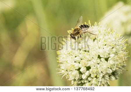 Bee collects nectar on white flower green pommel