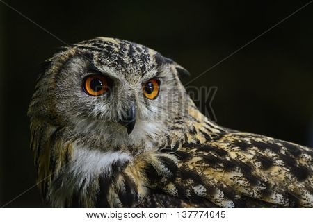 Stunning Portrait Of European Eagle Owl Bubo Bubo