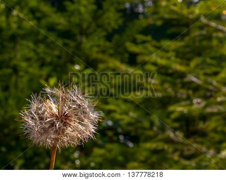Ugly old dandelion in the green woods