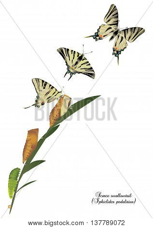 It is illustration of life cycle of scarce swallowtail