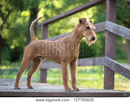 Irish terrier dog stays on the wooden bridge on the forest nature background