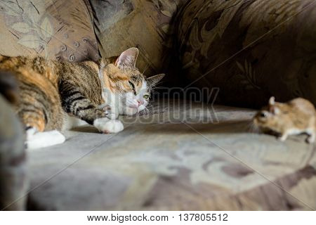 Cat playing with little gerbil mouse. Natural lightCat playing with little gerbil mouse. Natural light. Danger concept