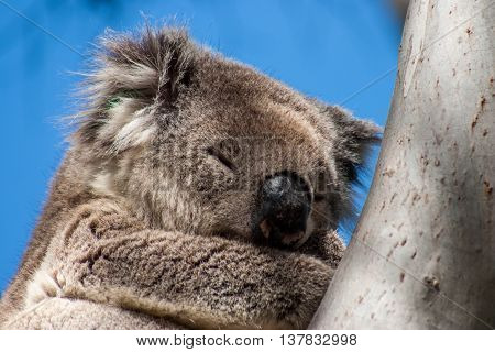 Koala on Kangaroo Island in eucalyptus tree