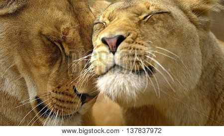 loving lion and lioness gently rub their snouts
