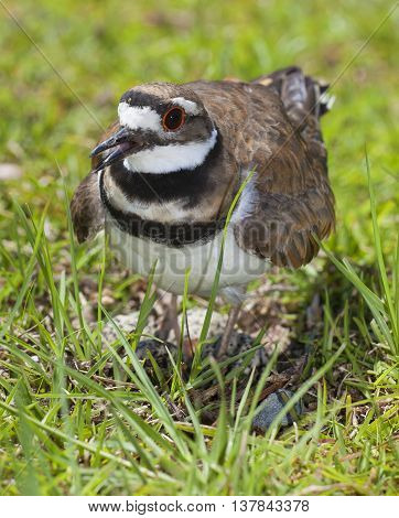 Killdeer on the grass guarding its nest and eggs within