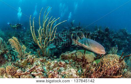 Nurse shark at Amergris Caye in Belize