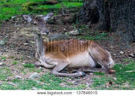 female sika deer resting in the Carpathian reserve