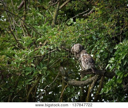 Pair of wild little owls preening each other (Athene noctua)