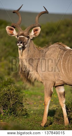Handsome male kudu antelope with large spiralled horns