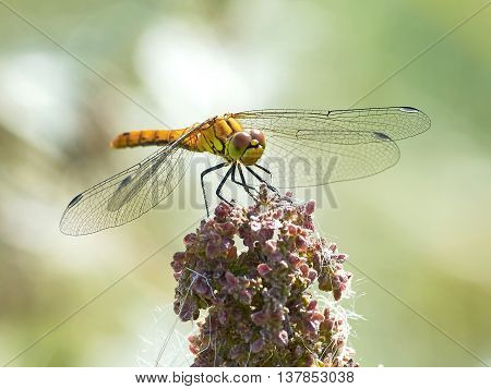 Vagrant darter (Sympetrum vulgatum) resting on a plant in its natural habitat