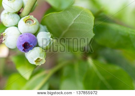 Outdoor macro shot of newly formed blueberries showing very young fruit. selective focus for blur background for copy space and text