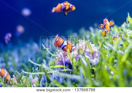 Nemo fish in aquarium for background. with copy space