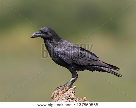 Common raven (Corvus corax) resting on a branch in its habitat